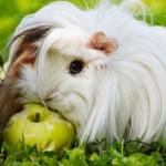 guinea-pig-874513_640